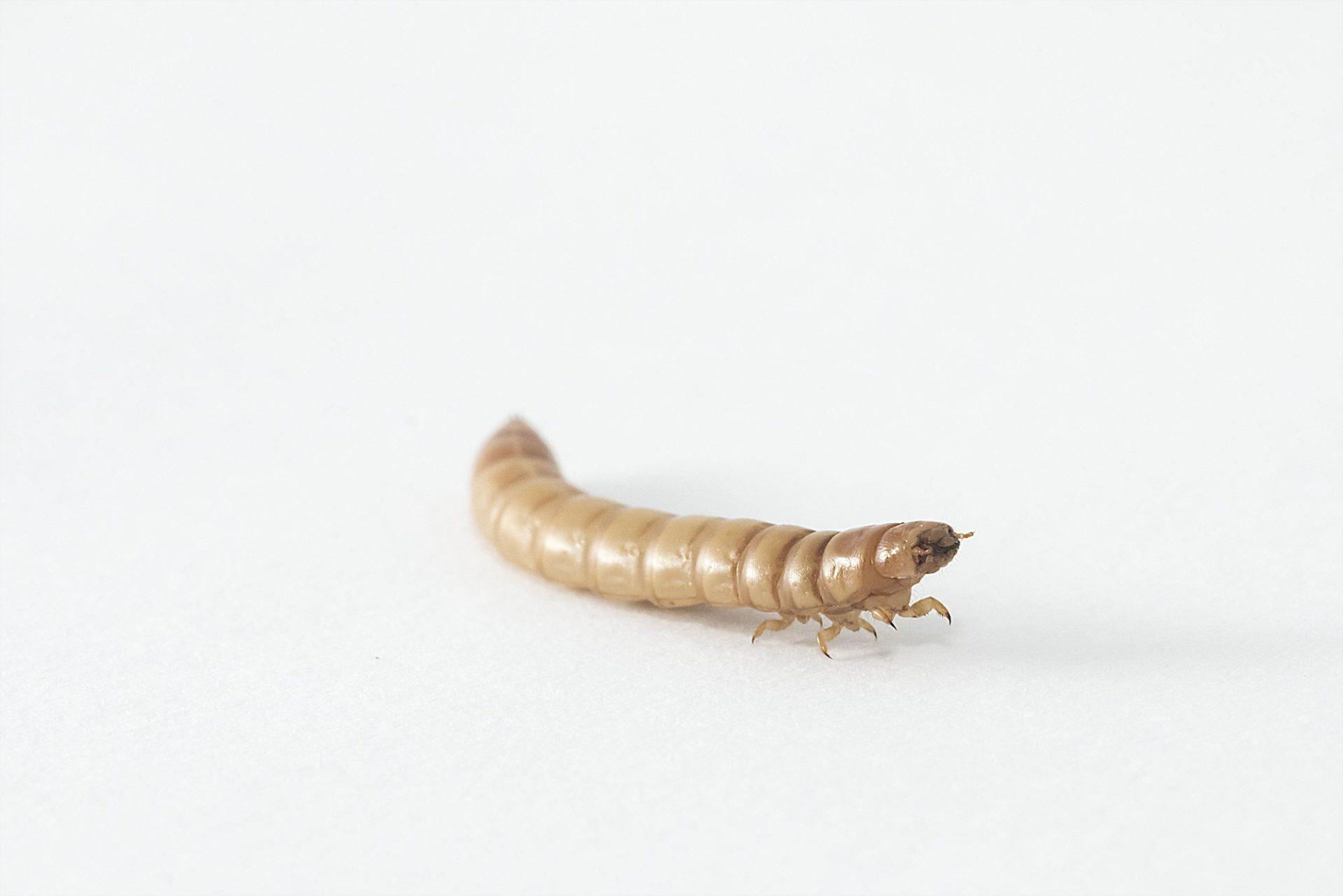 Wadudu's insecten leveren onderzoek, advies en geld op